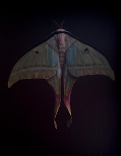 Lunar Moth 16in x 20in oil on panel 2013